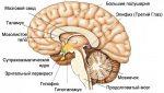 Шишковидная железа эпифиз – Шишковидная железа головного мозга что это такое: обызвествление и строение эпифиза