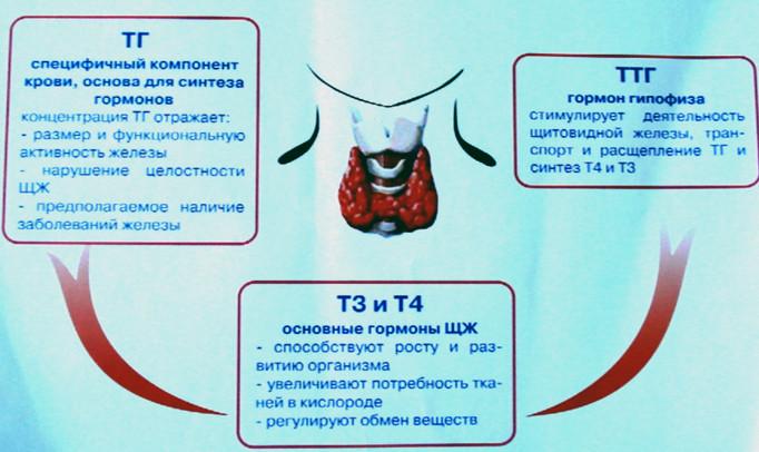 Какие гормоны на щитовидную железу – какие основные вырабатывает, их функции и нехватка, показатели, синтез гормонов щитовидки