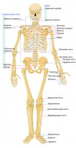 Кости туловища – строение и функции костной структуры, что такое осевой скелет и сколько костей в теле взрослого