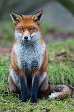 Лиса красная книга – Лисица (лиса) обыкновенная. Описание животного.