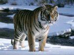 Почему амурские тигры исчезают – какие опасности ему угрожают? 🚩 как по английски тигр 🚩 Животные 🚩 Другое