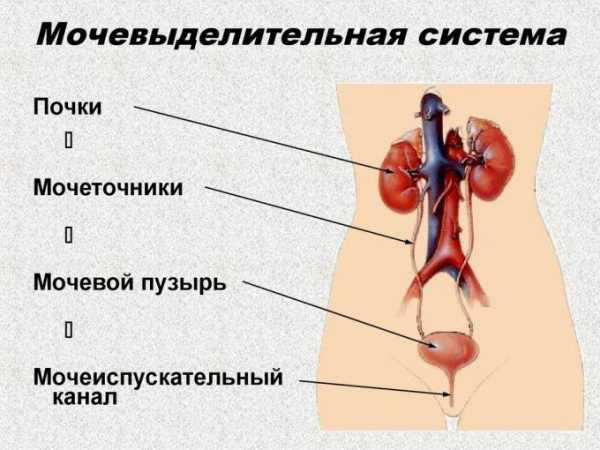 Реферат мочевыделительная система человека 9456